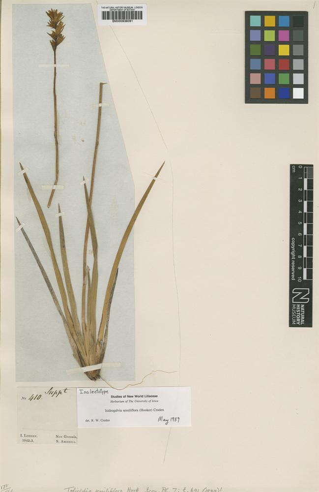 Isolectotype of Isidrogalvia sessiliflora (Hook.) Cruden [family MELANTHIACEAE]