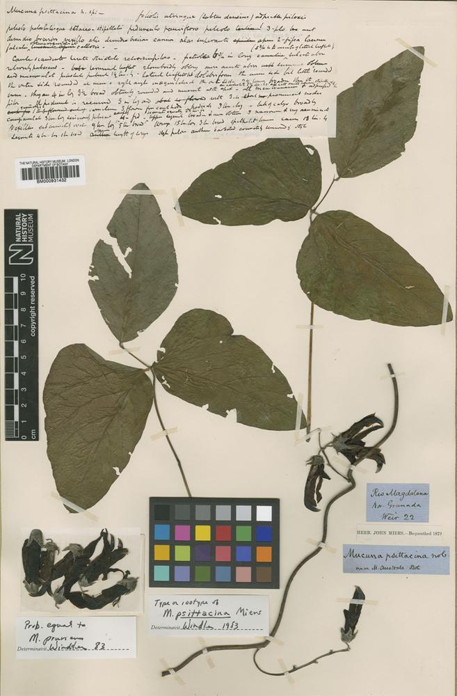 Type of Mucuna psittacina Miers [family LEGUMINOSAE]