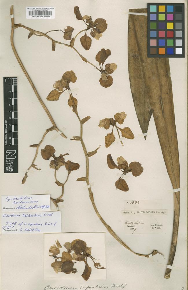 Type of Oncidium halteratum Lindl. [family ORCHIDACEAE]