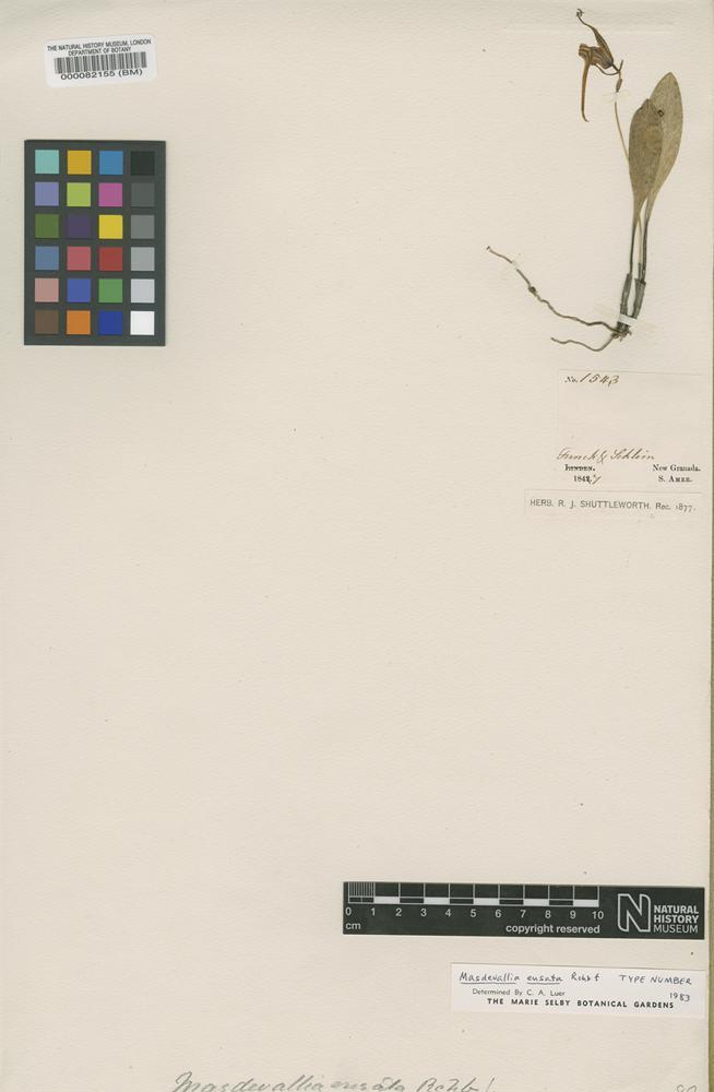 Type of Masdevallia ensata Rchb.f. [family ORCHIDACEAE]