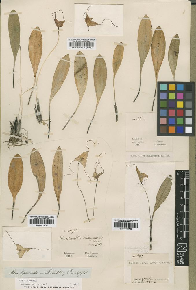 Type of Masdevallia triangularis Lindl. [family ORCHIDACEAE]