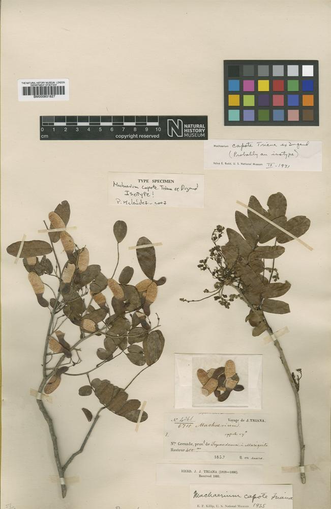 Type of Machaerium capote Triana ex Dugand [family LEGUMINOSAE]