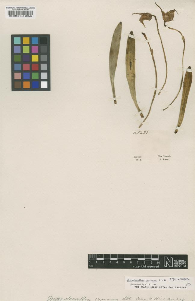 Type of Masdesvalia coriacea Lindl. [family ORCHIDACEAE]