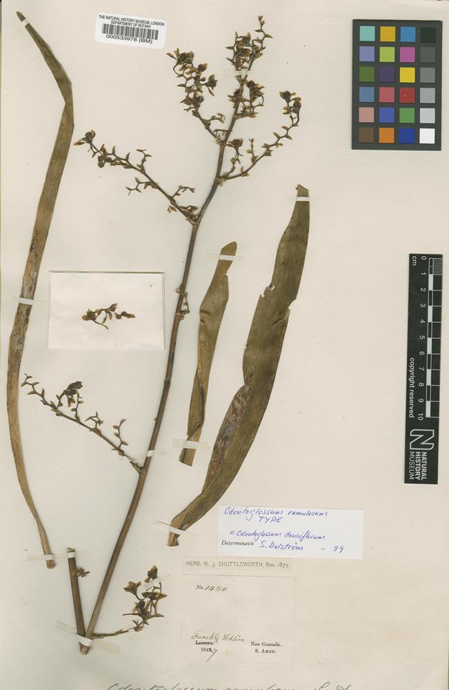 Type of Odontoglossum ramulosum Lindl. [family ORCHIDACEAE]