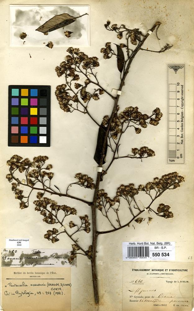 Type of Senecio ocanensis Greenm. & Cuatrec. [family COMPOSITAE]