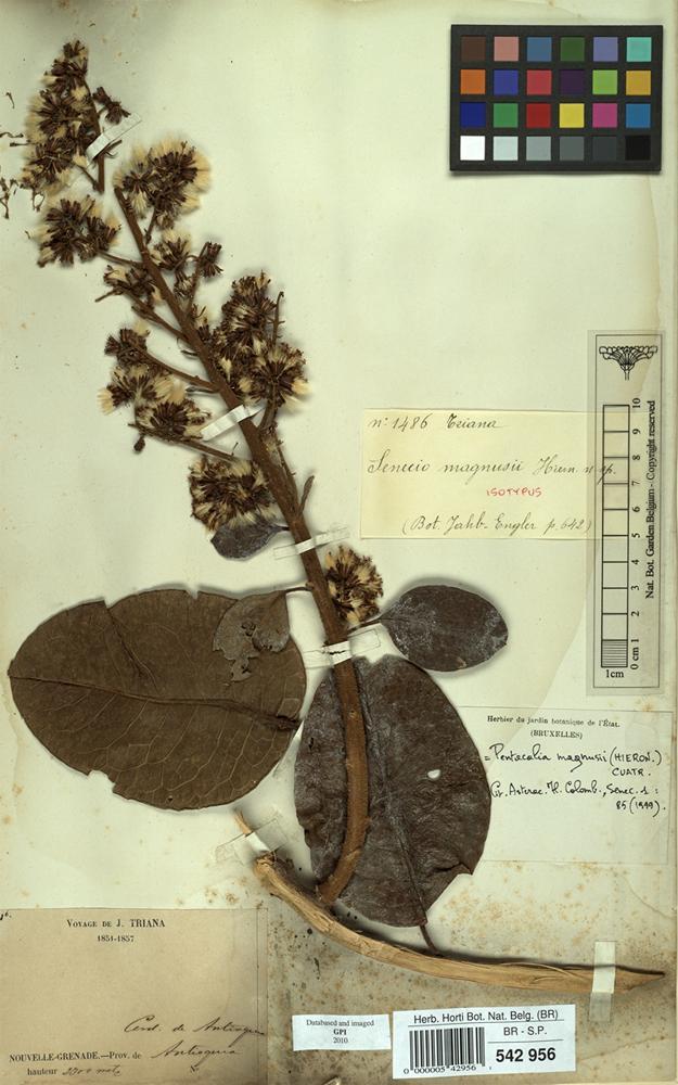 Isotype of Senecio magnusii Hieron. [family COMPOSITAE]