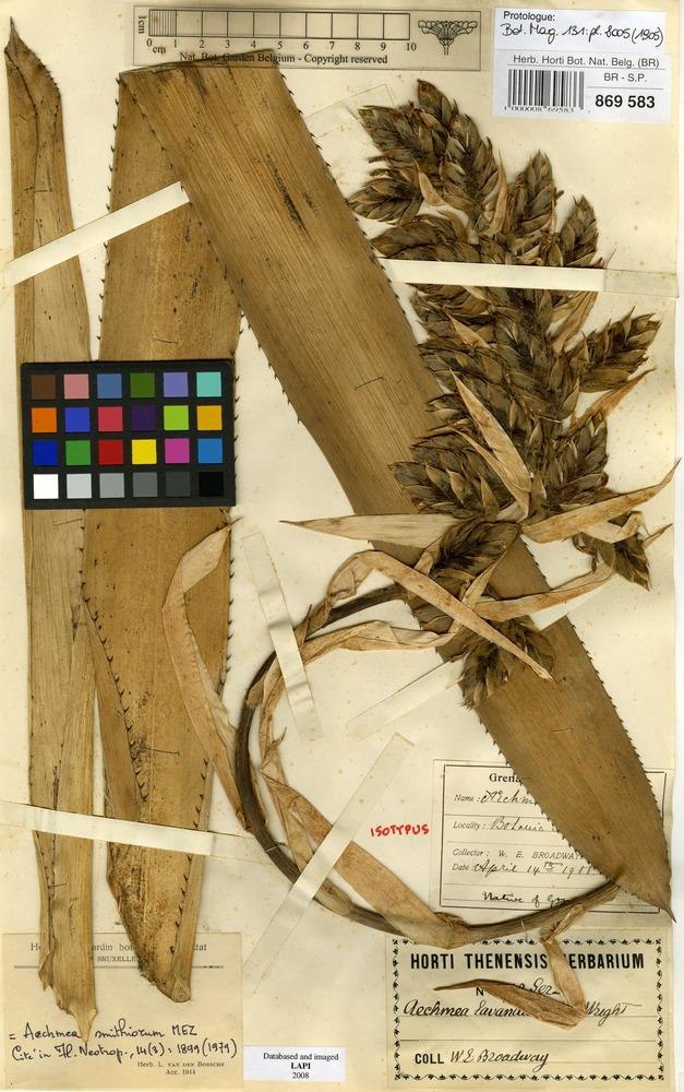 Isotype of Aechmea lavendulacea C.H.Wright [family BROMELIACEAE]