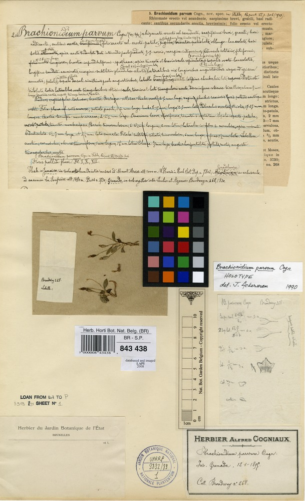 Lectotype of Brachionidium parvum Cogn. [family ORCHIDACEAE]