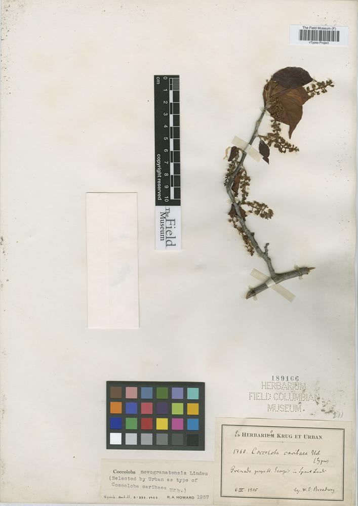 Type of Coccoloba novogranatensis Lindau [family POLYGONACEAE]