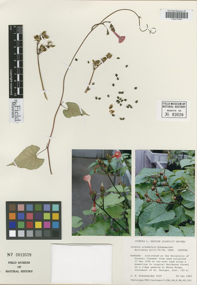 Isotype of Ipomoea praematura Eckenw. [family CONVOLVULACEAE]