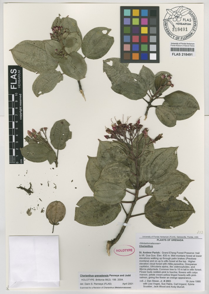 Holotype of Charianthus grenadensis Penneys & Judd [family MELASTOMATACEAE]