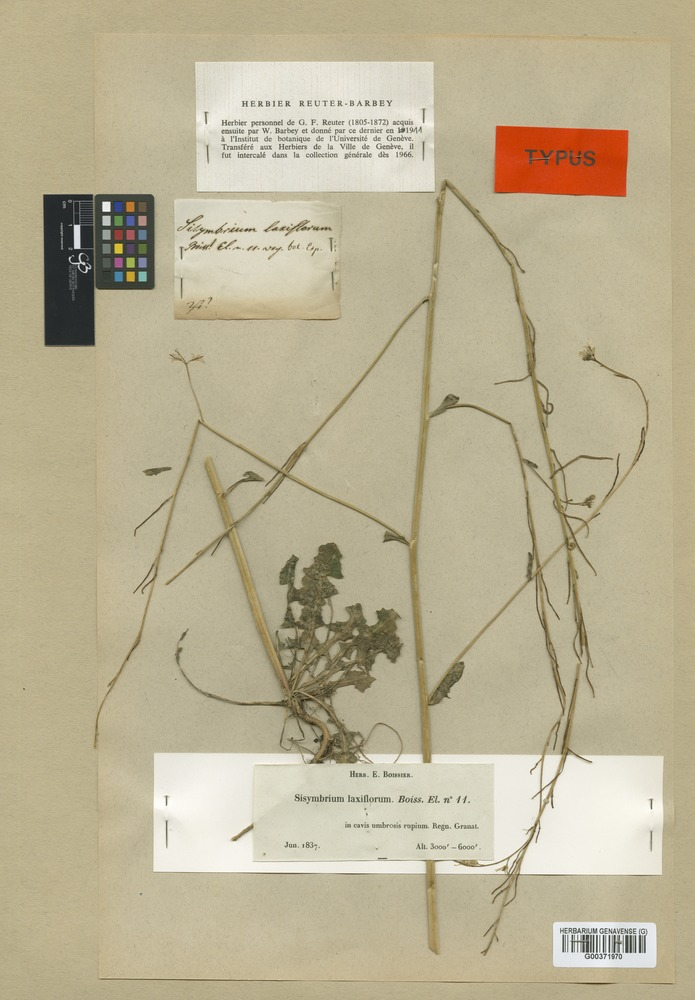 Isolectotype of Sisymbrium laxiflorum Boiss. [family CRUCIFERAE]