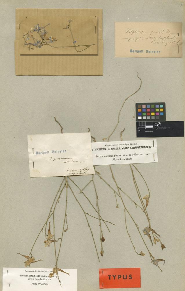 Lectotype of Delphinium peregrinum L. var. elongatum Boiss. [family RANUNCULACEAE]