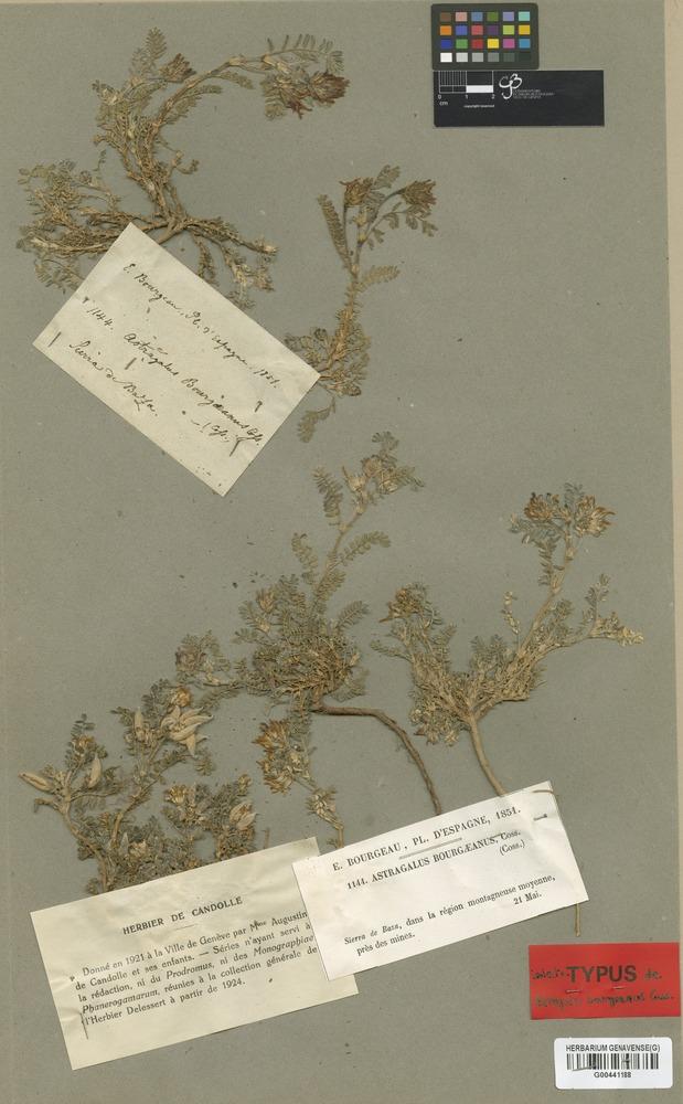 Isolectotype of Astragalus bourgaeanus Coss. [family LEGUMINOSAE]
