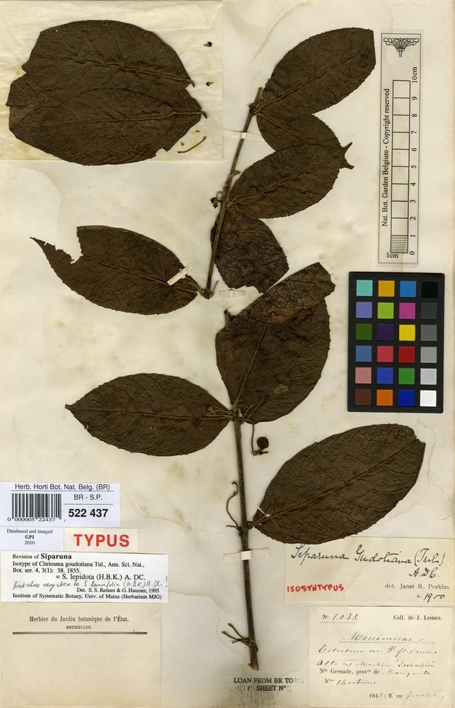 Isolectotype of Citriosma goudotiana Tul. [family MONIMIACEAE]