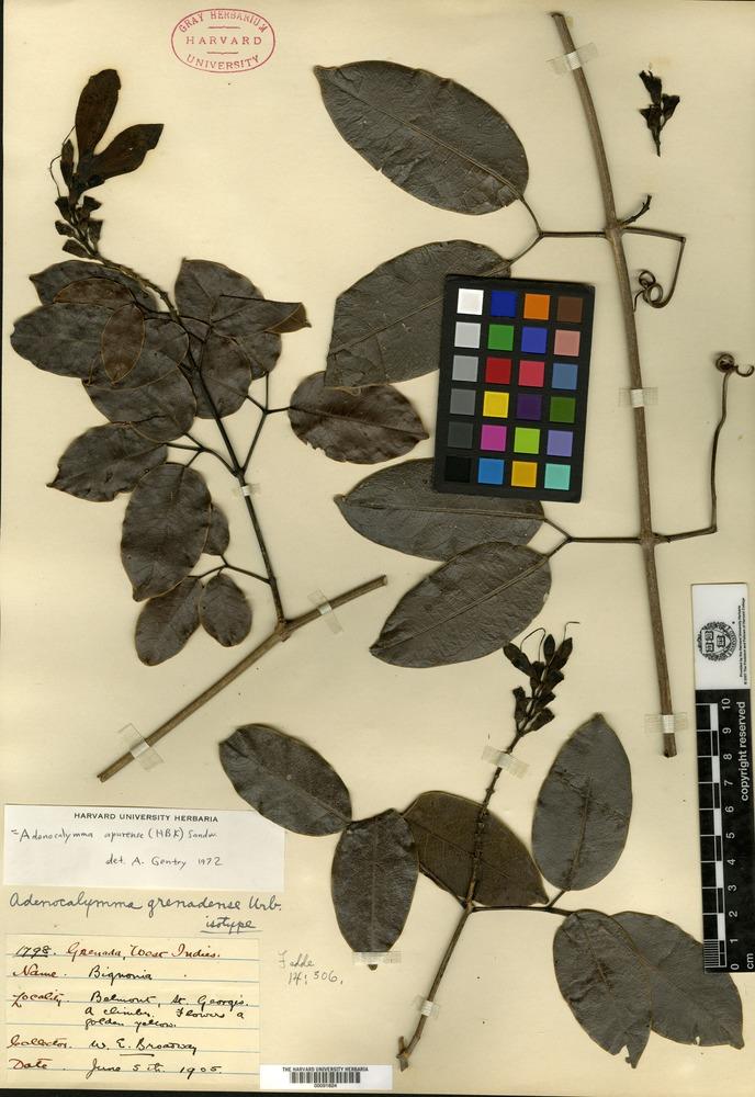 Isotype of Adenocalymma grenadense Urban [family BIGNONIACEAE]