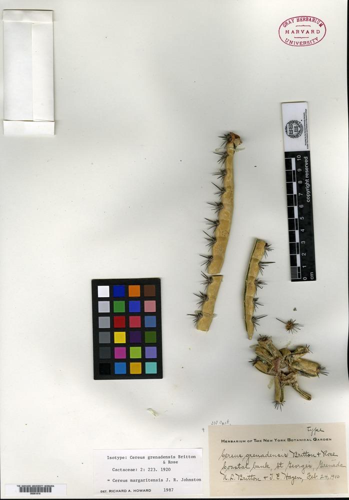 Isotype of Cereus grenadensis Britton & Rose [family CACTACEAE]