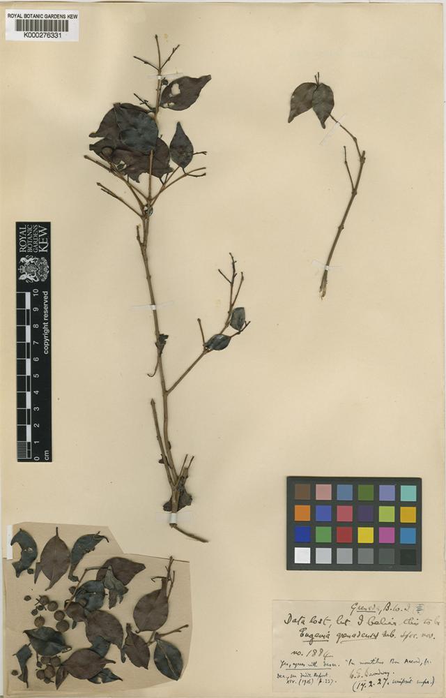 Type of Eugenia grenadensis Urb. [family MYRTACEAE]