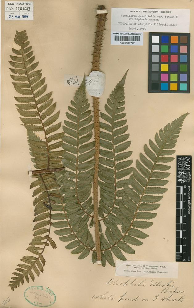 Lectotype of Alsophila elliottii Baker [family CYATHEACEAE]