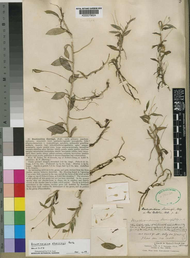 Holotype of Brachionidium sherringii Rolfe. [family ORCHIDACEAE]
