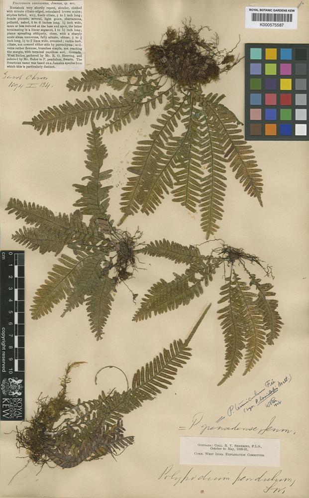 Lellingeria tenuicula (Fée) A.R.Sm. & R.C.Moran [family GRAMMITIDACEAE]