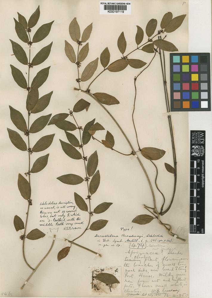 Type of Decastelma broadwayi Schltr. [family ASCLEPIADACEAE]