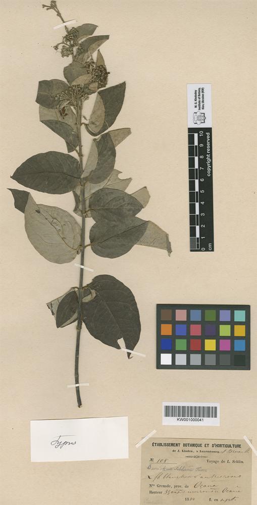 Holotype of Banisteria schlimii Turcz. [family MALPIGHIACEAE]