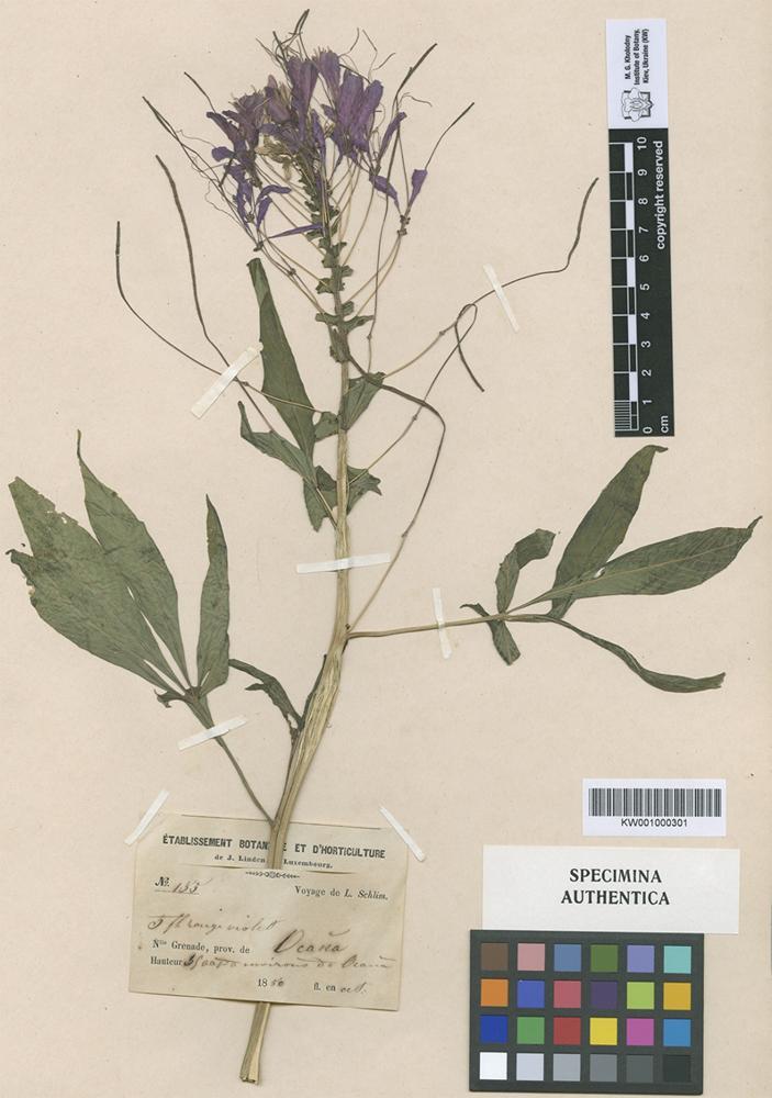 Original material of Gynandropsis grandiflora Turcz. [family CAPPARACEAE]