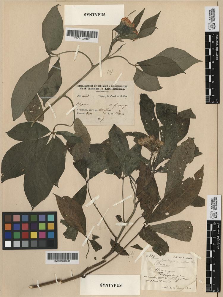 Syntype of Gynandropsis aurantiaca Turcz. [family CAPPARACEAE]