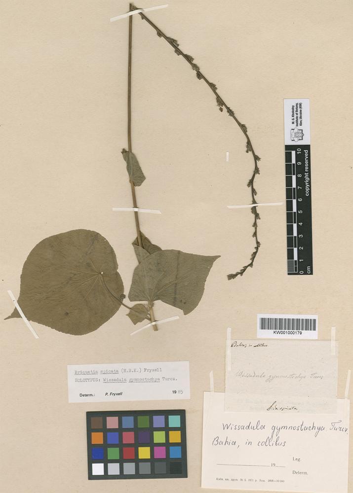 Holotype of Wissadula gymnostachya Turcz. [family MALVACEAE]