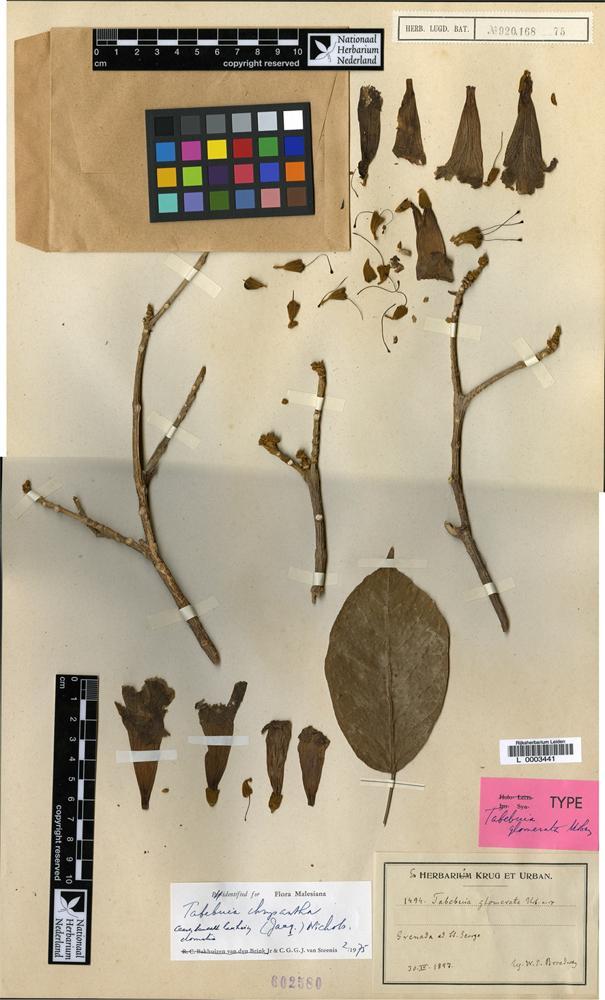 Syntype of Tabebuia glomerata Urb. [family BIGNONIACEAE]