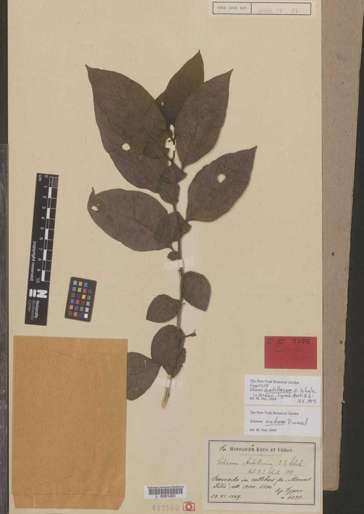 Syntype of Solanum antillarum Schultz [family SOLANACEAE]