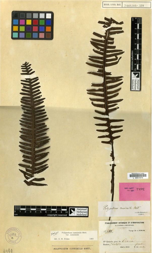 Isotype of Polypodium consimile Mett. var. consimile [family PTERIDOPHYTA]