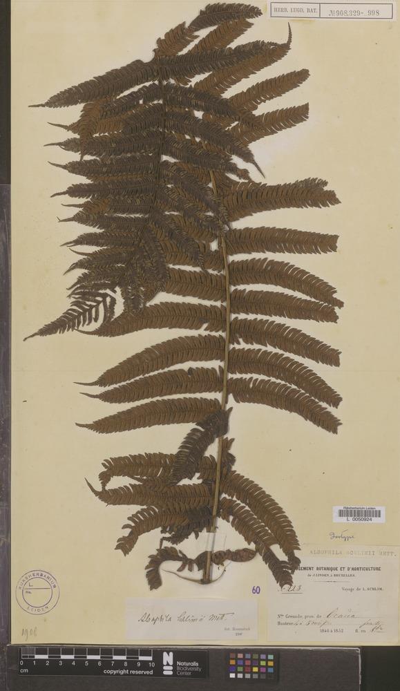 Isotype of Alsophila schlimii Mett. [family PTERIDOPHYTA]