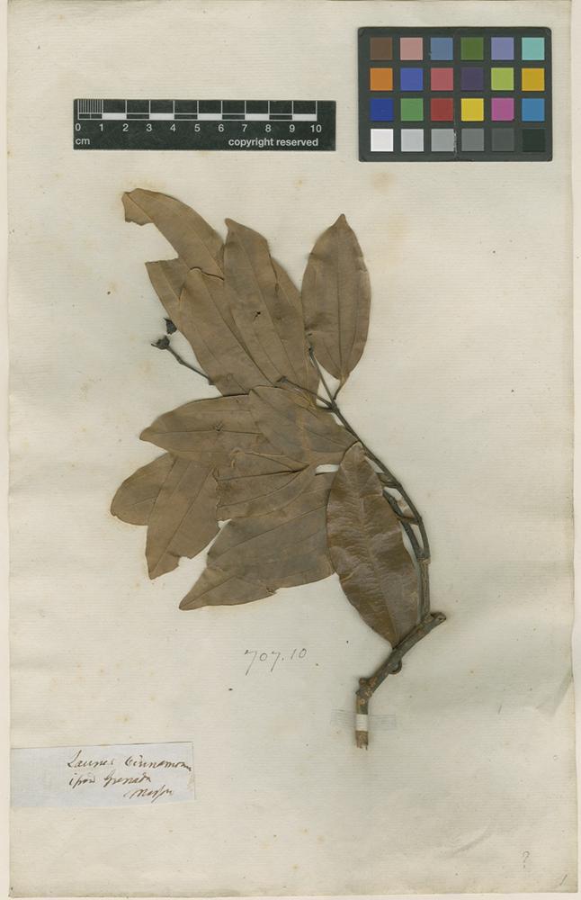 Filed as Laurus cinnamomum L. [family LAURACEAE]