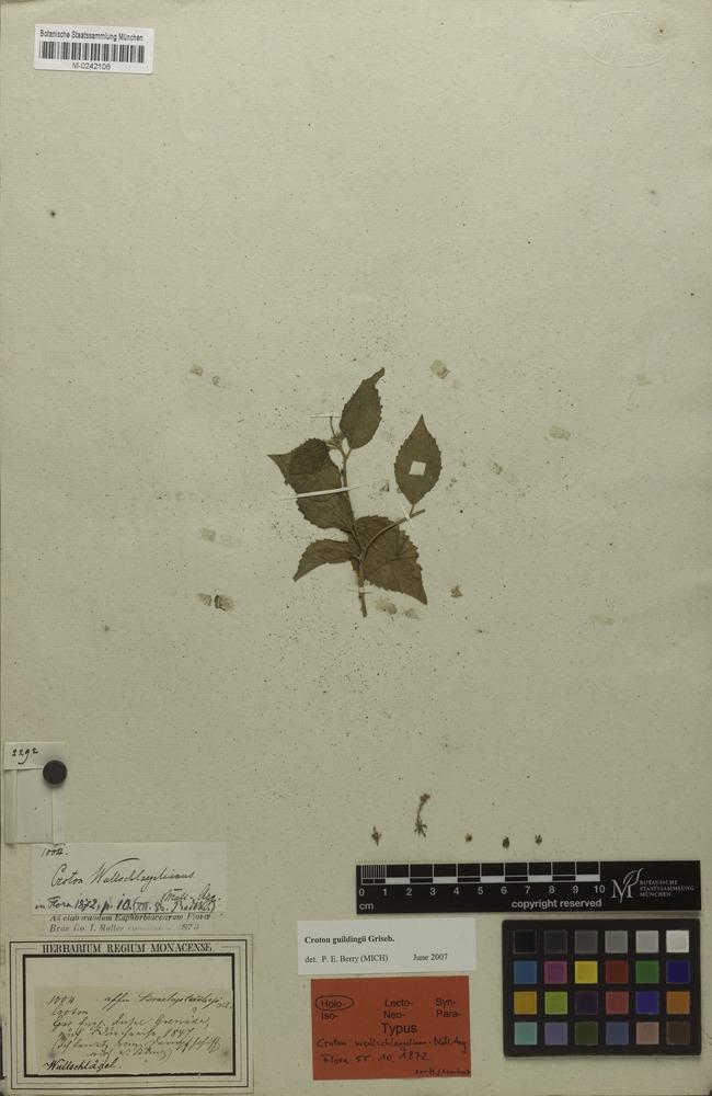 Holotype of Croton wullschlaegelianus Müll.Arg. [family EUPHORBIACEAE]