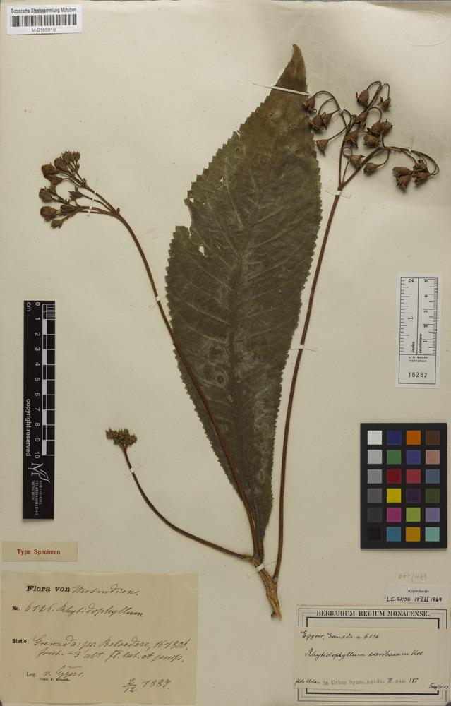 Syntype of Rhytidophyllum caribaeum Urb. [family GESNERIACEAE]
