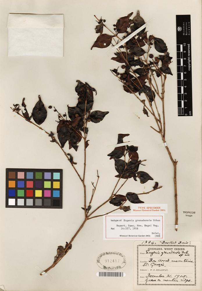 Isotype of Eugenia grenadensis Urb. [family MYRTACEAE]