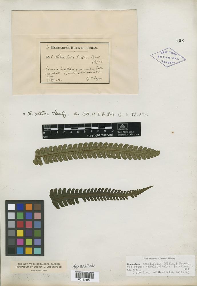 Type of Hemitelia bullata H. Christ [family PTERIDOPHYTE]