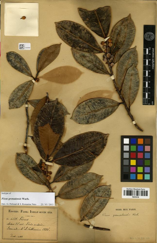 Isotype of Ficus grenadensis Warb. [family MORACEAE]