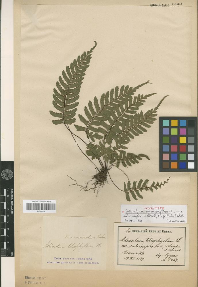 Isosyntype of Adiantum tetraphyllum L. var. subsimplex Christ [family PTERIDOPHYTA]