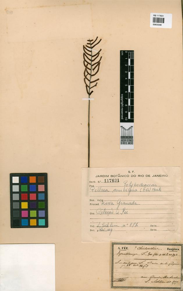 Pellaea ambigua (Fée) Baker [family PTERIDACEAE]