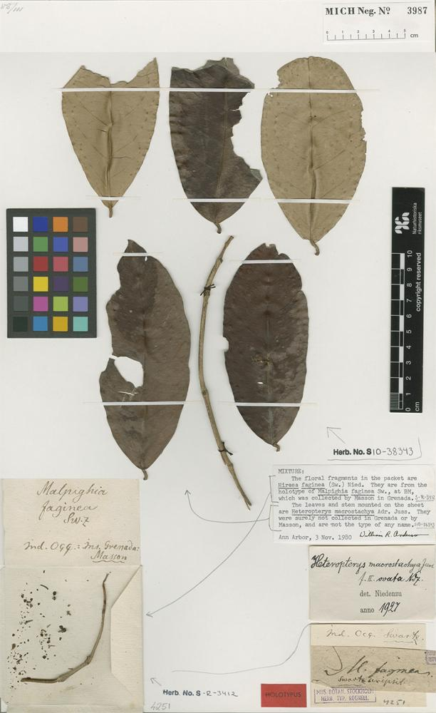 Type of Malpighia faginea Sw. [family MALPIGHIACEAE]