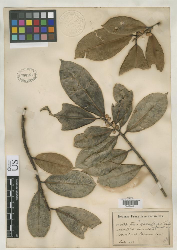 Isotype of Ficus grenadensis Warburg, O. 1903 [family MORACEAE]