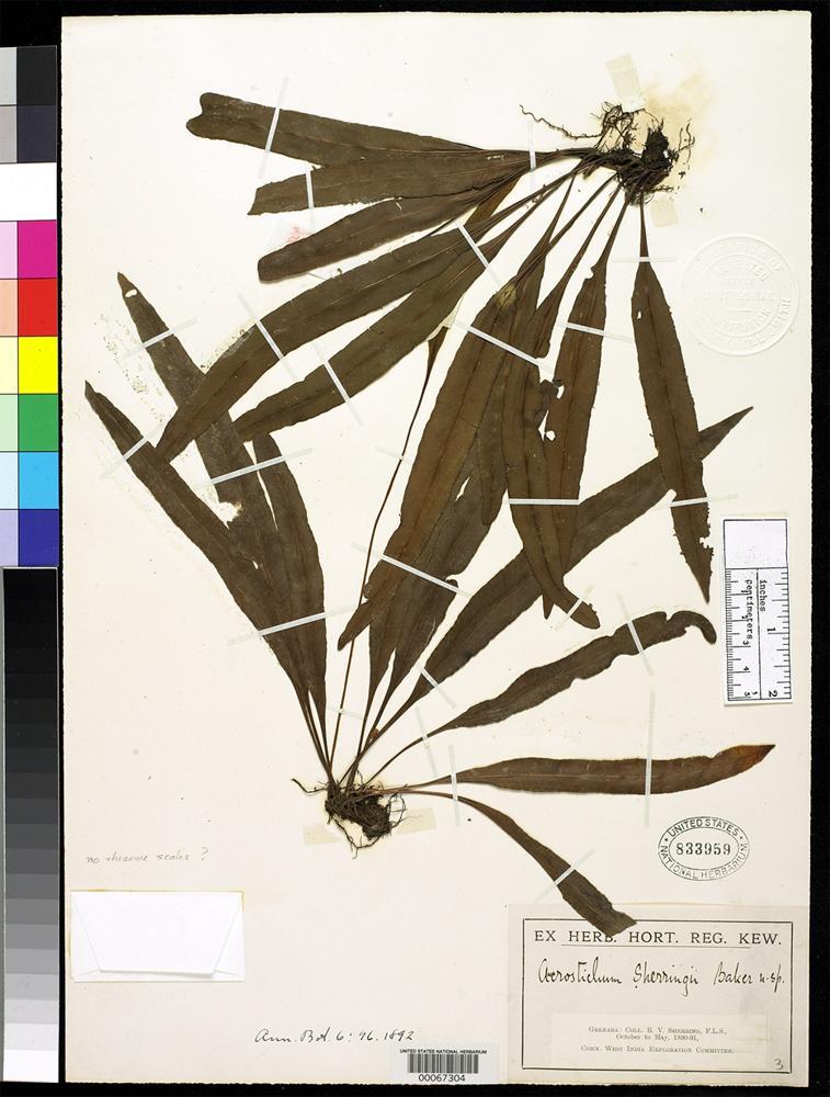 Filed as Acrostichum sherringii Baker, J.G. 1892 [family PTERIDACEAE]
