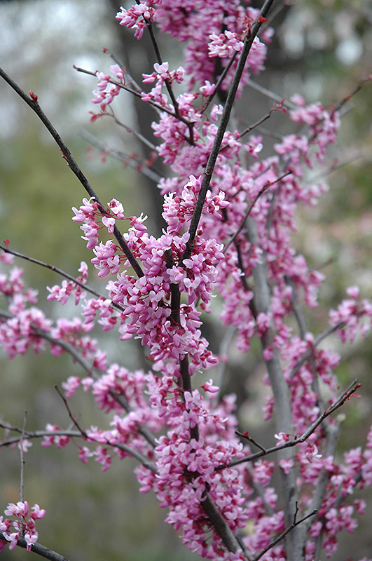Forest Pansy Redbud Cercis Canadensis Forest Pansy In Richmond Fairfax Loudoun Prince