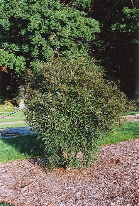 Cutleaf Glossy Buckthorn Rhamnus Frangula Asplenifolia In Columbus Dublin Delaware Grove