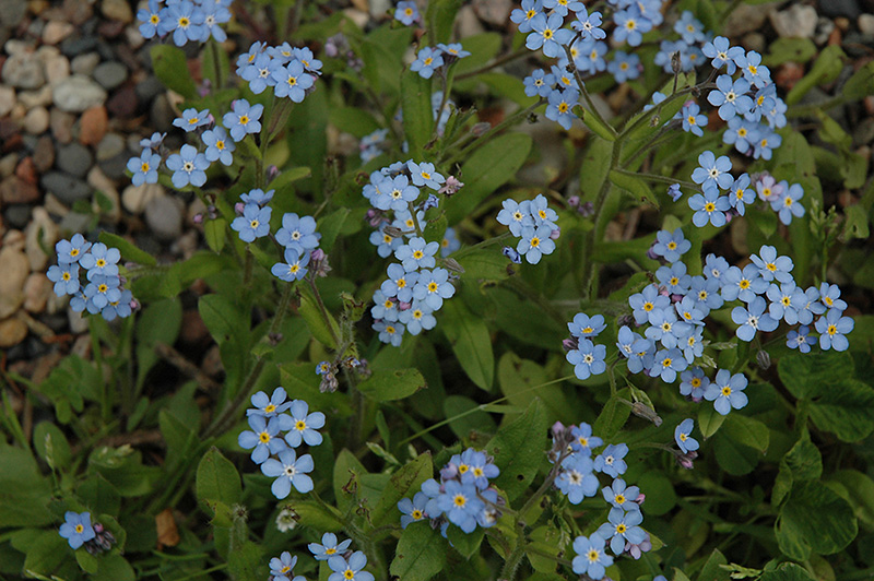 Forget Me Not  Myosotis sylvatica  in Columbus Dublin Delaware Grove     Forget Me Not  Myosotis sylvatica  at Oakland Nurseries Inc