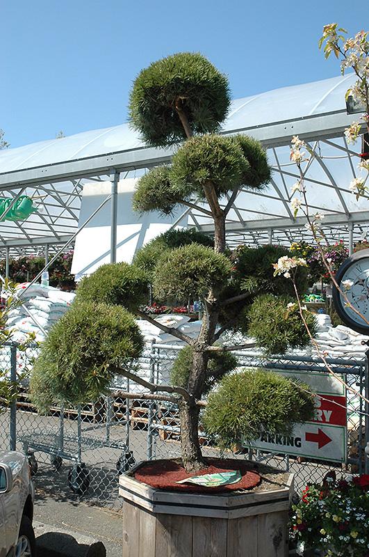 Scotch Pine Pom Pom Pinus Sylvestris Pom Pom In Columbus Dublin Delaware Grove City