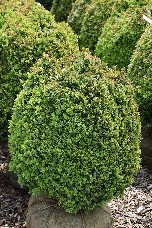 Dwarf English Boxwood Buxus Sempervirens Suffruticosa In Columbus Dublin Delaware Grove City